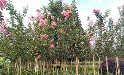 紫薇树2公分以上紫薇树基地,紫薇树批发,紫薇树价格
