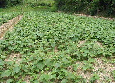 祥泰苗木基地直销猕猴桃实生苗0.5毫米以上,猕猴桃苗批发价格