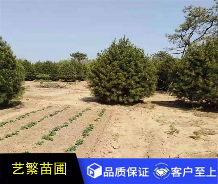 绿化白皮松,蓝田白皮松3米一级3.5米白皮松