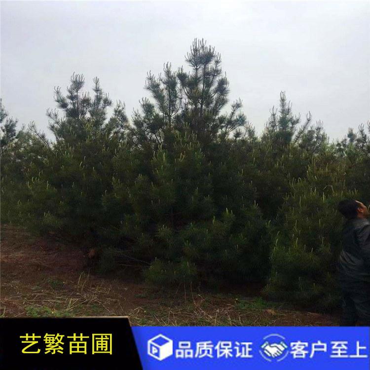 蓝田白皮松,景观绿化4米一级4.5米白皮松
