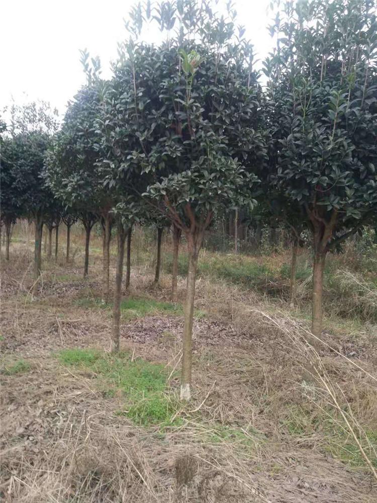 桂花树,常绿乔木