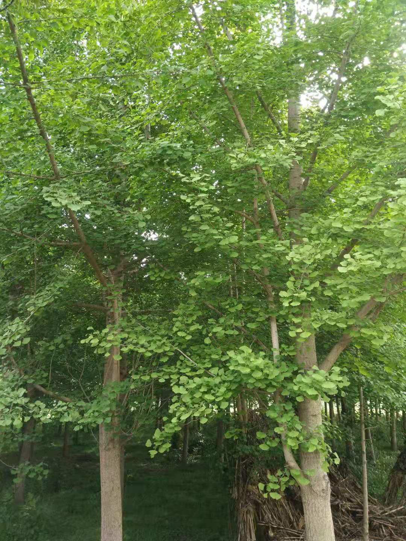 陕西汉中苗木基地银杏树直供,货源充足,价格从优