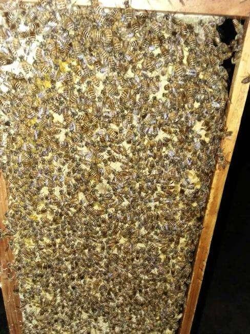 贵州蜜蜂价格