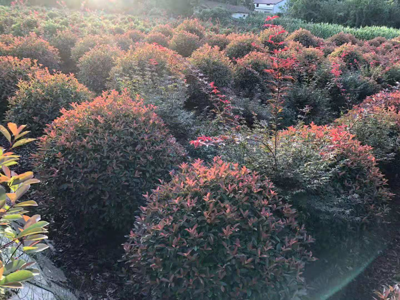 祥泰苗木基地80公分以上红叶石楠球,红叶石楠苗木直销