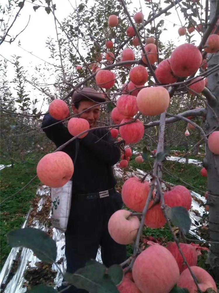 澄城县有机苹果批发,苹果供应厂家