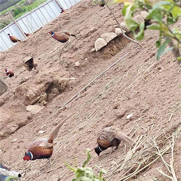 铜仁山鸡养殖基地 七彩山鸡批发 七彩山鸡出售 雉鸡养殖
