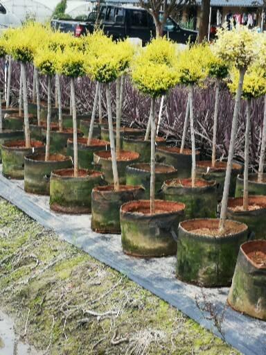 棒棒糖植物价格 棒棒糖植物生产批发