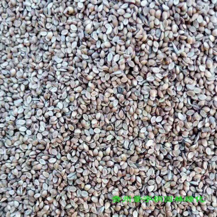 绿化种子批发 边坡绿化草种 灌木种 厂家直销