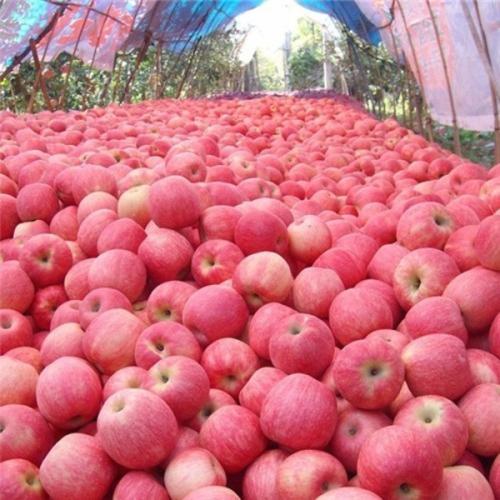 苹果批发 农户直销