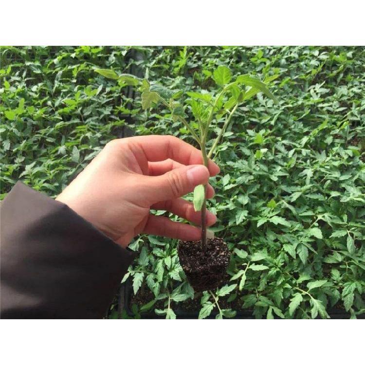 甘肃蔬菜育苗基质价格 宁夏育苗基质 育苗营养土