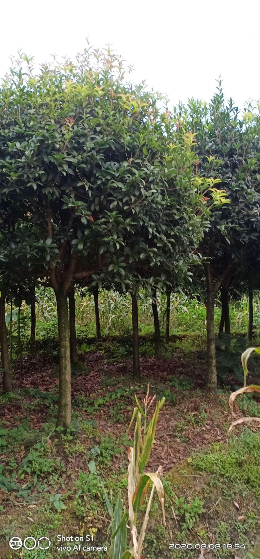 供应桂花树,10公分桂花树价格500元起,品种优良,量大从优