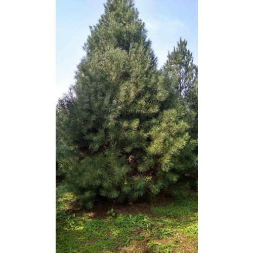 基地出售绿化白皮松 白皮松4米 白皮松3米