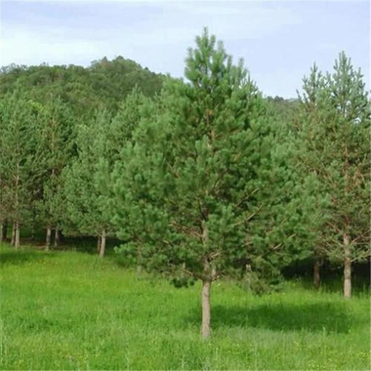 华山松苗木西地区绿化种植