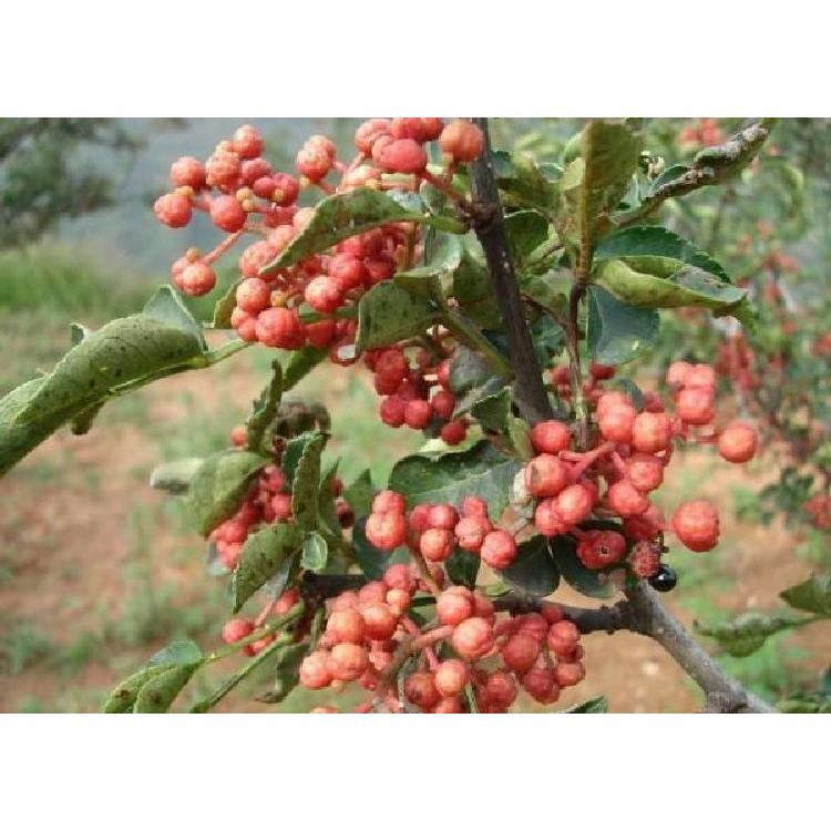 王彪果树基地出售花椒苗 花椒苗基地价格 产量高 成活率高