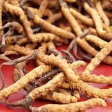 南明区冬虫夏草回收价格,专业回收虫草