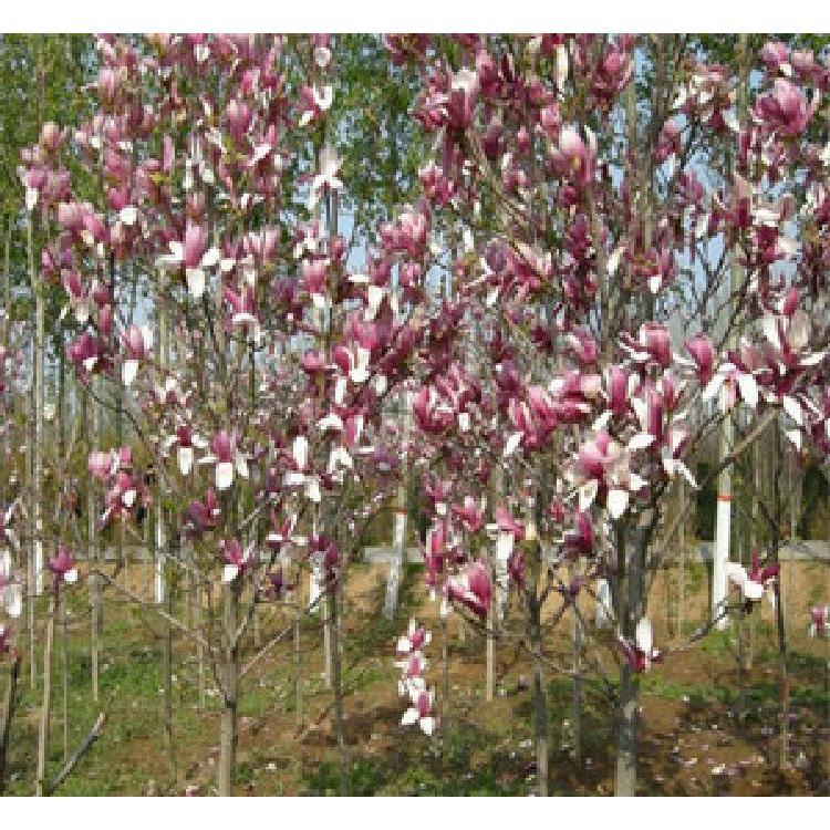 古鑫苗木种植合作社1公分红玉兰
