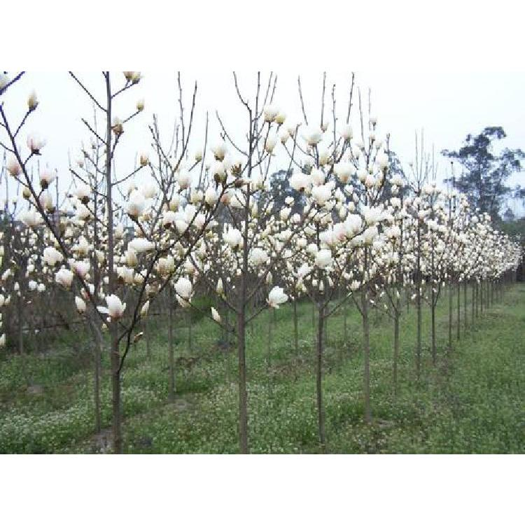 白玉兰树 15公分白玉兰树价格 陕西白玉兰树基地 品种纯花树形优美