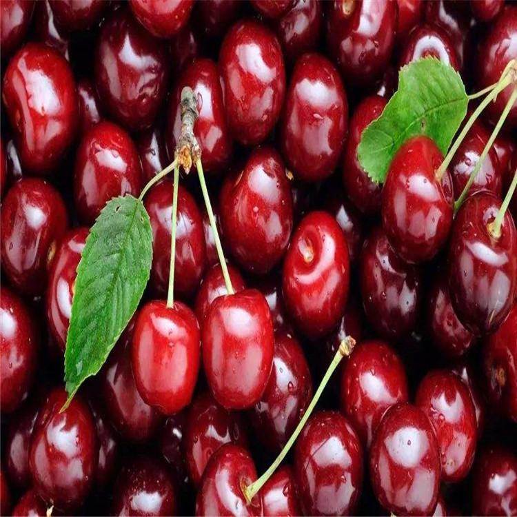 樱桃苗木厂家  樱桃树苗  樱桃树苗种植  西安樱桃厂