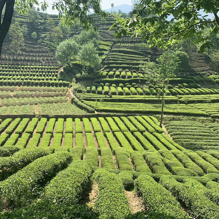 优质黄金芽茶苗_氨基酸含量高_专业茶苗供应商