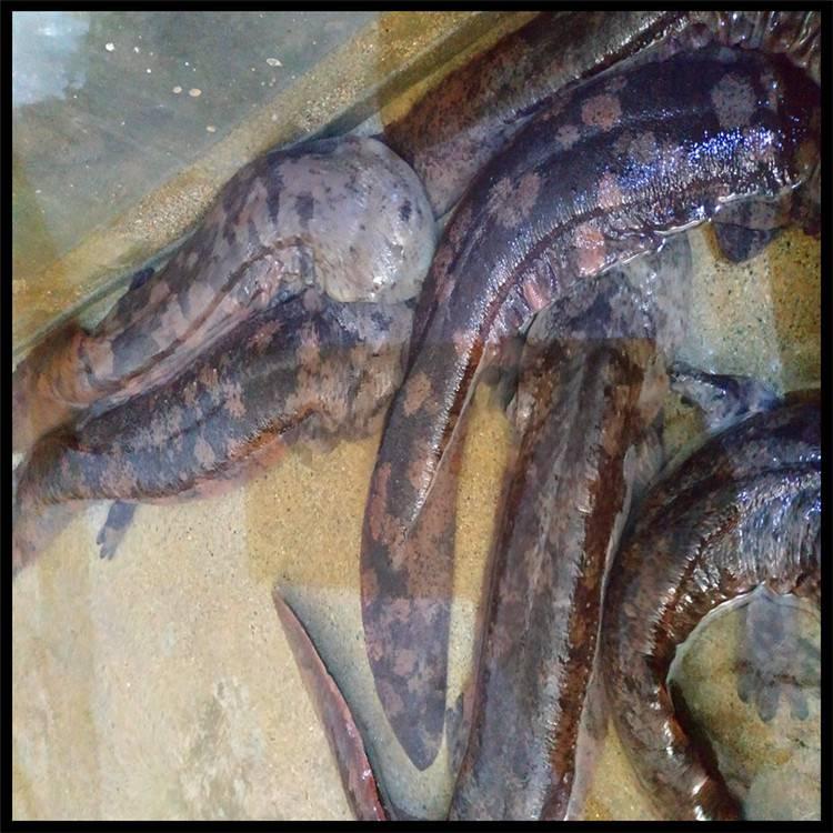 山东娃娃鱼价格 娃娃鱼市场价一斤 基地出售娃娃鱼 2020年娃娃鱼价格 肉质鲜美 活体包邮
