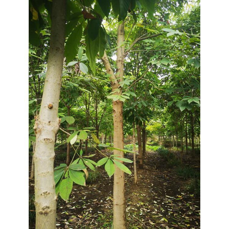 新疆园林直销大叶七叶树 厂家供应七叶树 七叶树 价格
