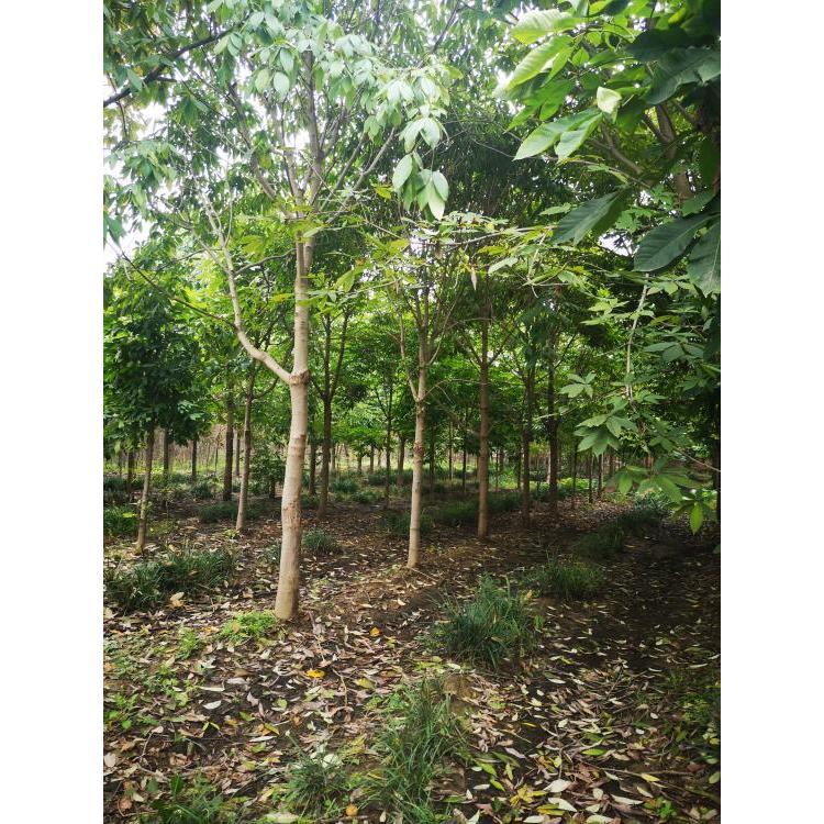 甘肃平凉供应园林绿化七叶树 七叶树报价批发基地