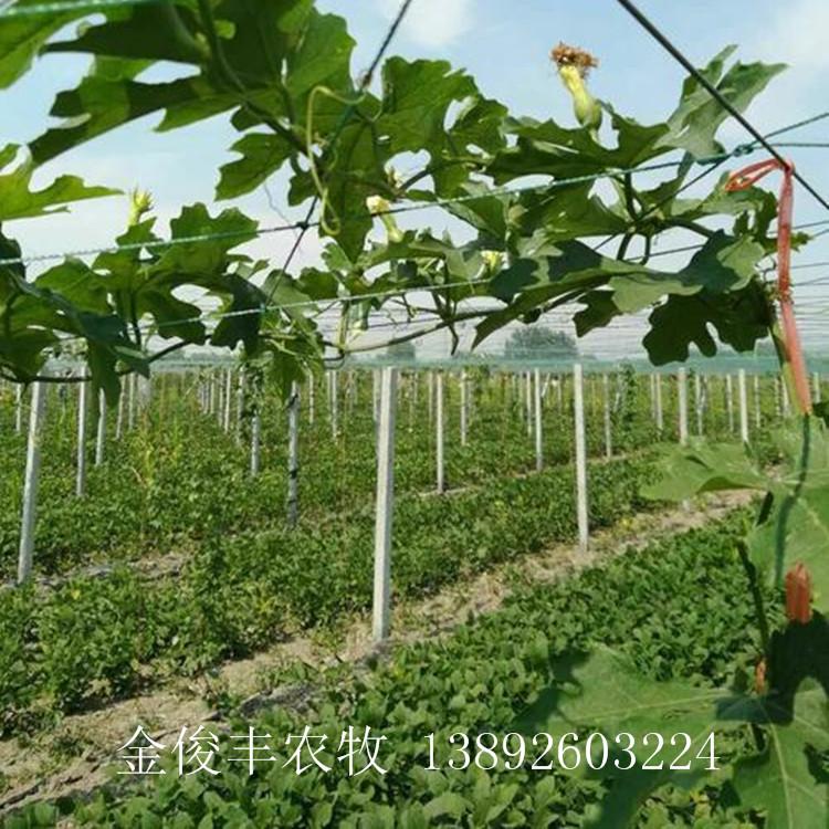 瓜蒌种苗基地直销 瓜蒌种苗怎么卖 瓜蒌种苗价格 品质好 价格低