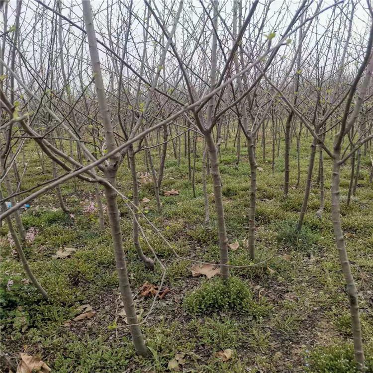 苹果树 陕西宝鸡基地直挖