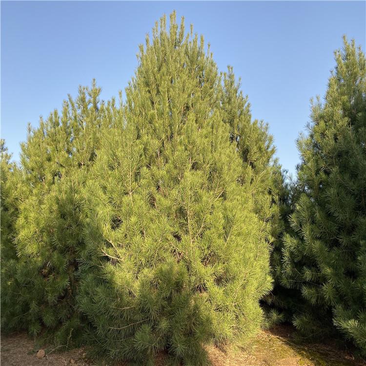 厂家批发 4.5米一级白皮松 绿化白皮松