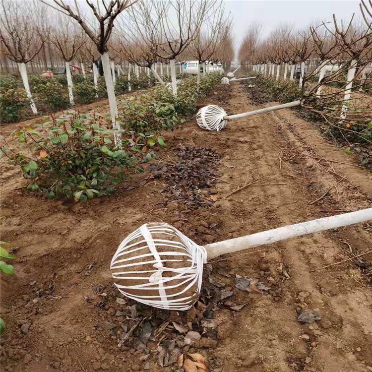 樱花厂家直销 风景绿化树樱花树 价格优惠 永盛苗圃场