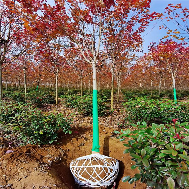 常年销售10公分美国红枫 丛生红枫树 绿化红枫树