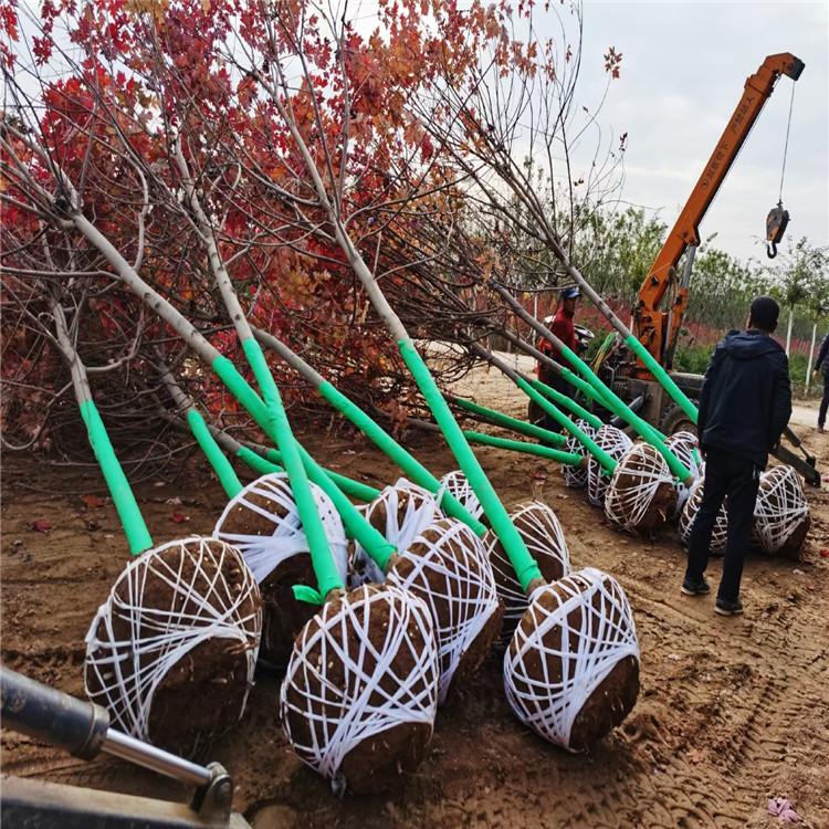 红冠美国红枫 价格实惠美国红枫 永盛 现卖美国红枫 品种多