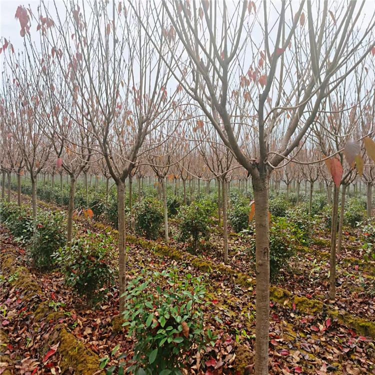 樱花 樱花种植基地 批发优质樱花小苗