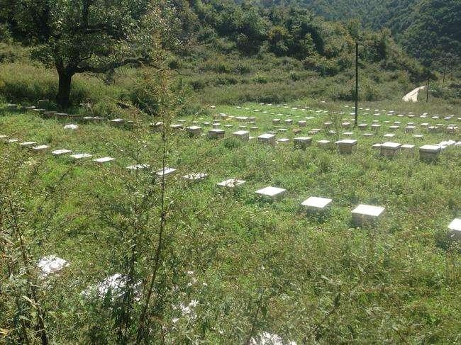 大方县百耕中蜂黑大蜜蜂_蜜蜂价格_蜜蜂采蜜_蜜蜂养殖技术_蜜蜂整箱批发
